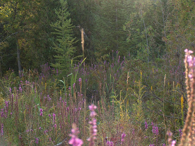 Purple loosestrife is thriving in the hydric environment associated with the springs feeding the North Tributary. Picture taken August 7, 2012 by Kim Zippel.